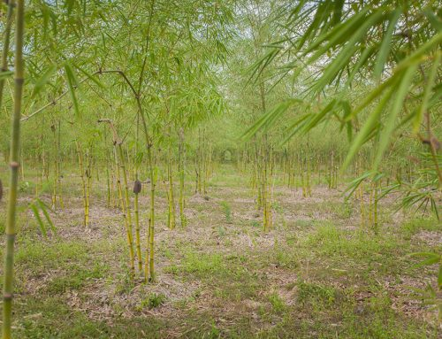 Environmental Impact of Planting Bamboo Along a River Bank