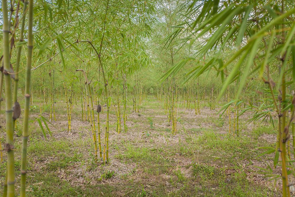 Environmental Impact of Planting Bamboo Along a River Bank